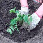 Чтобы защитить помидоры от вредителей и вырастить большие плоды, всегда перед посадкой в лунку кладу измельченную крапиву