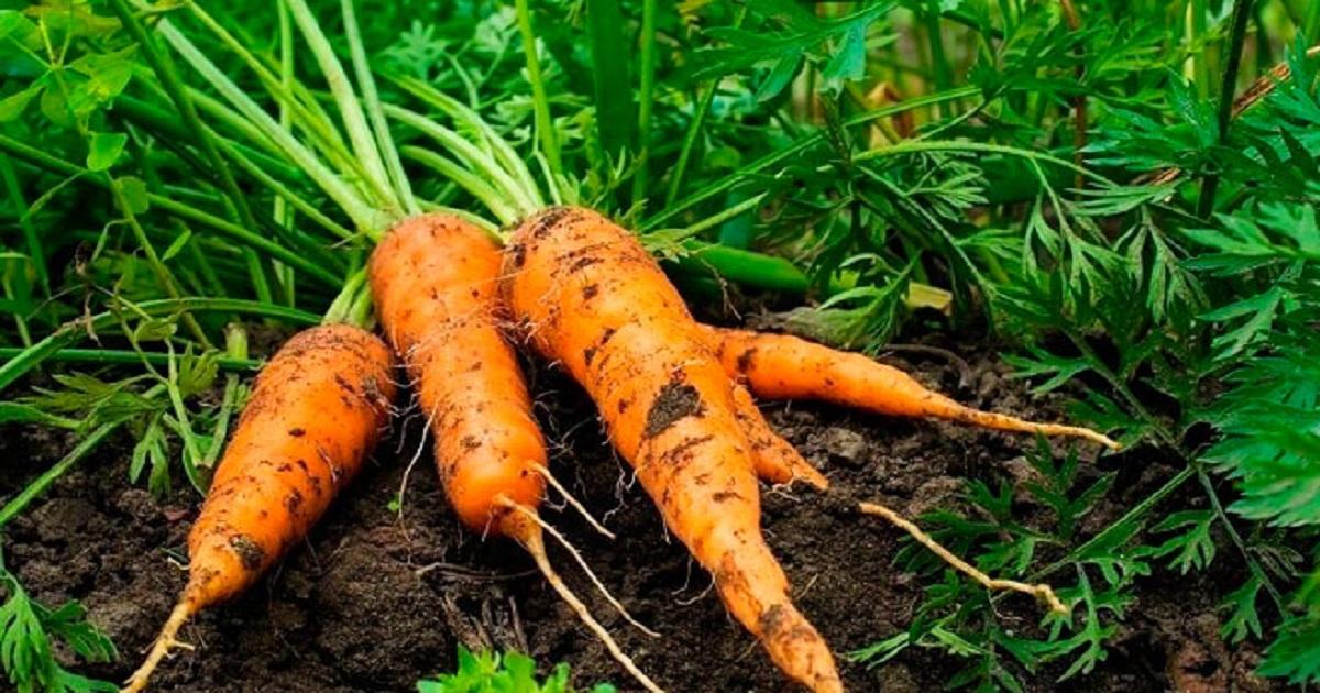 Ровная морковь, секрет выращивания