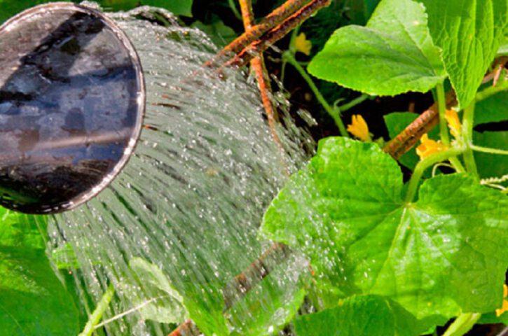Опрысканные таким раствором огурцы не желтеют до осени!