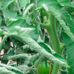 Смотрю, куда закрутились листья томатов, и сразу знаю, чем нужно их обработать!