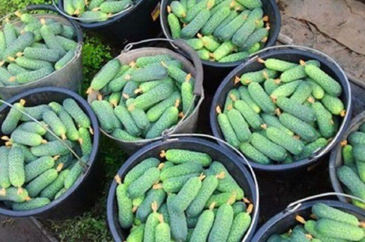 Супер подкормка для огурцов для тех, кому нужен богатый урожай