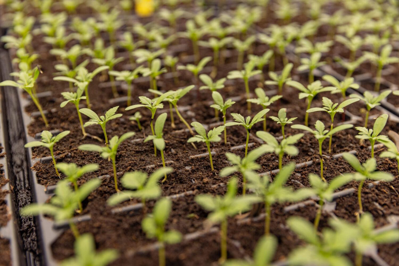 Коли висаджувати розсаду: помідори, огірки, перець